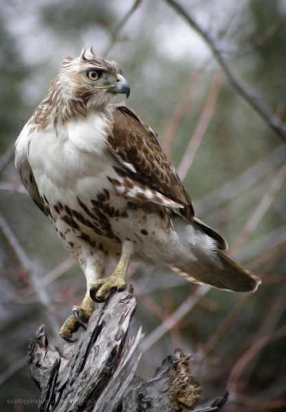 A Red-Tailed Hawk perced atop a tree
