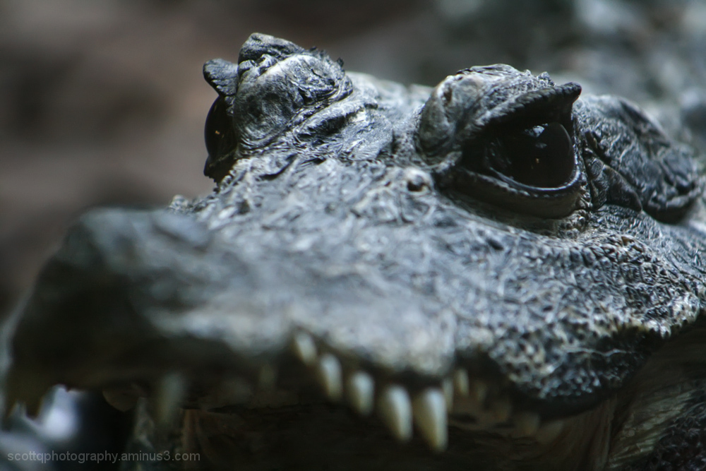 Close up view of an alligator