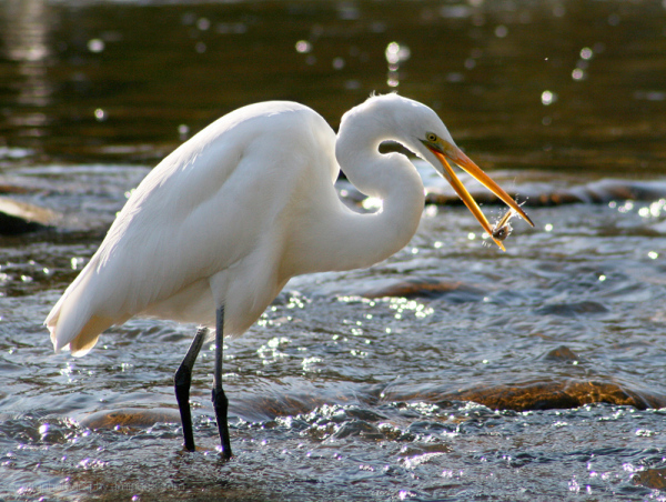 crane eating a fish