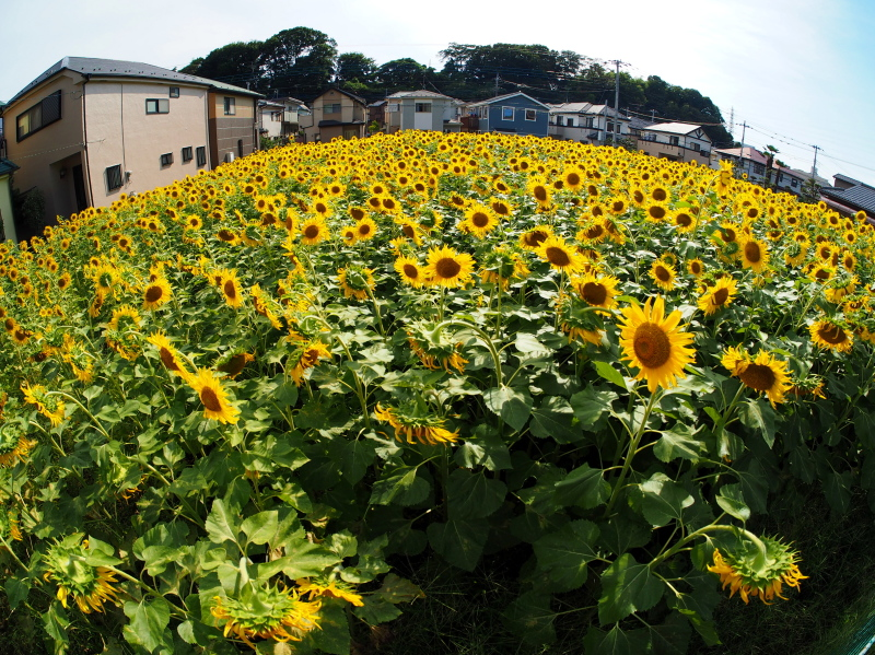 Sunflower field is in the residential area