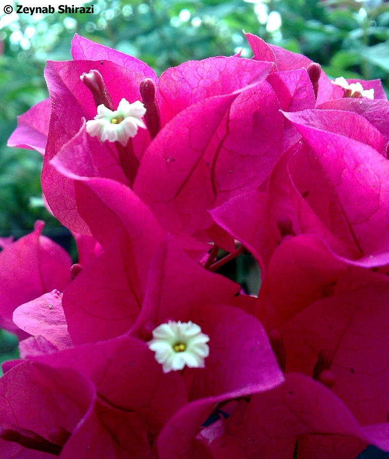 Bouguainvilla, red, flower, greenhouse, plant
