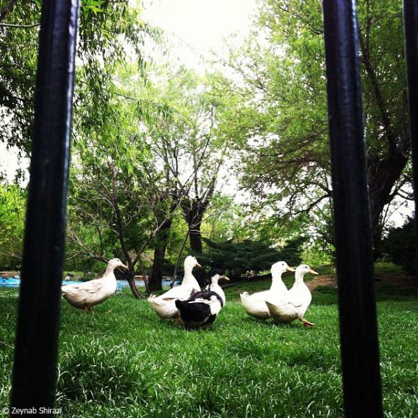duck, park, green