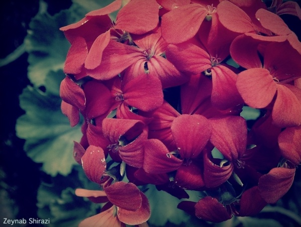 Red, flower, nature photography