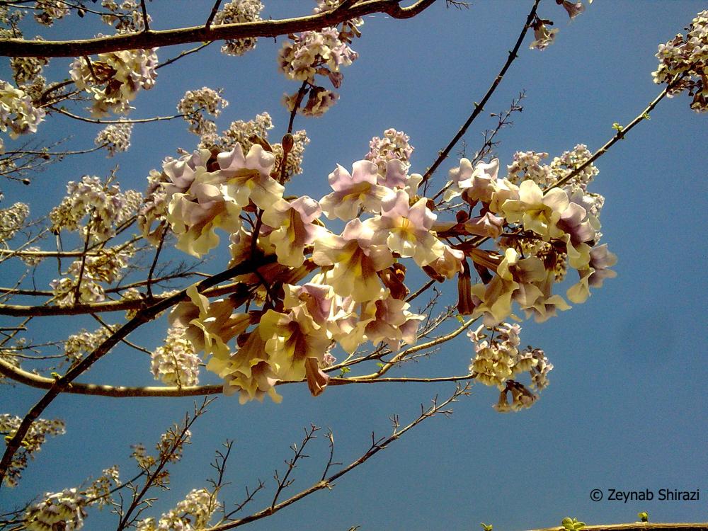 Paulownia, spring, flower