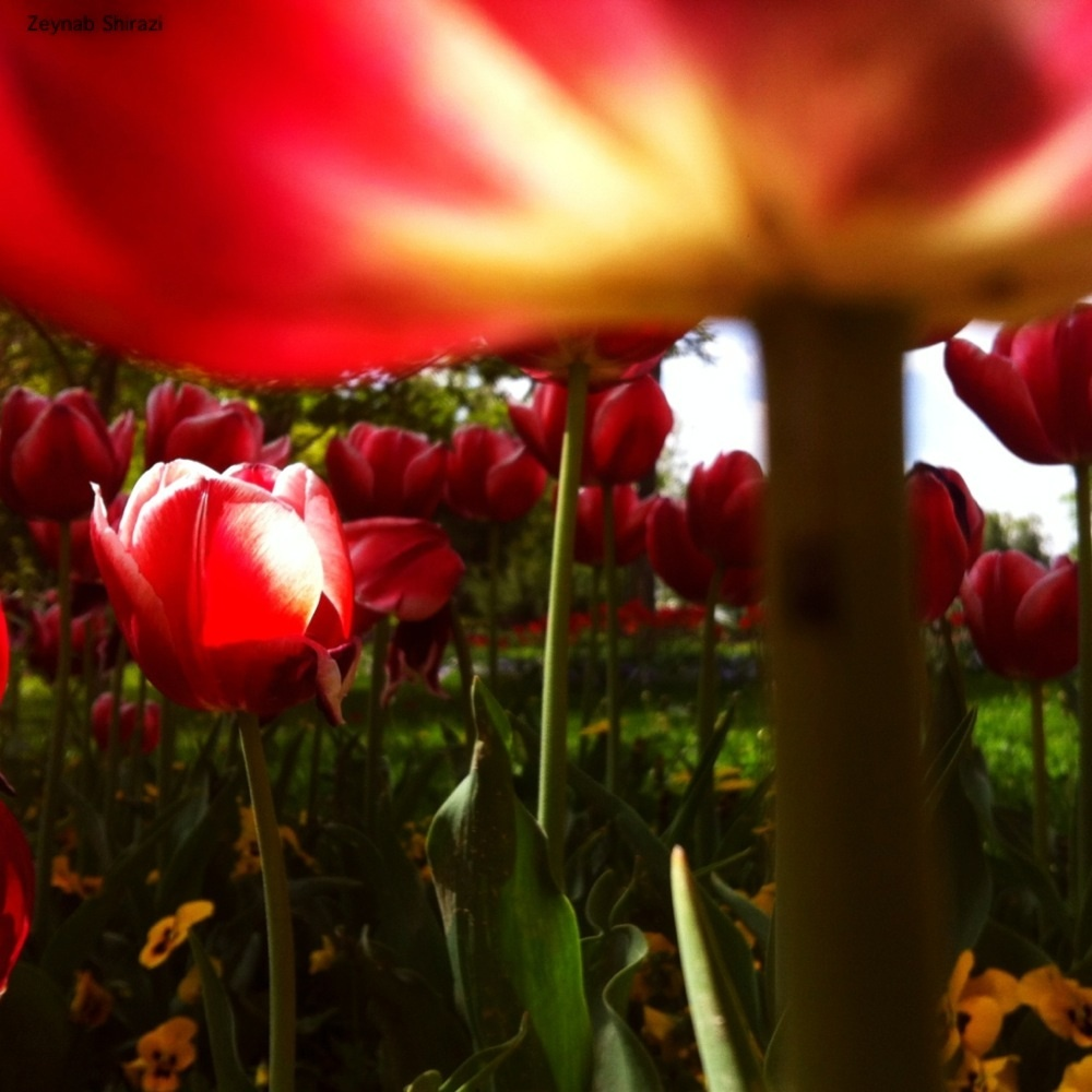 Tulip, red, nature,