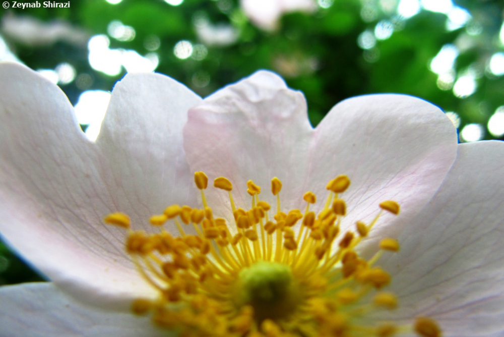 macrophotagraphy, Rosa canina, eglantine, نسترن