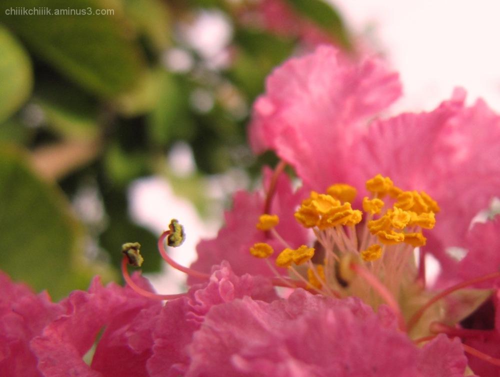 wavy pink flower Lagerstroemia indica crape myrtle