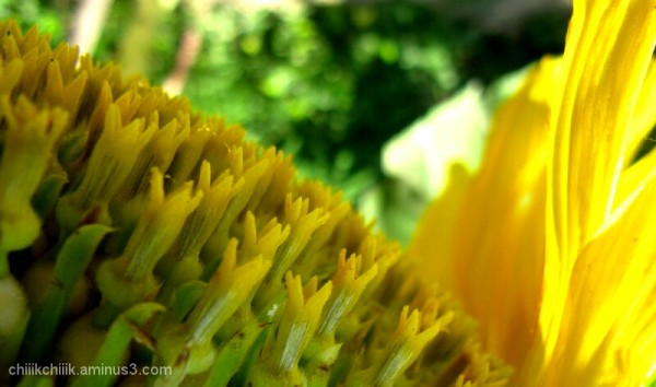 Sunflower macro