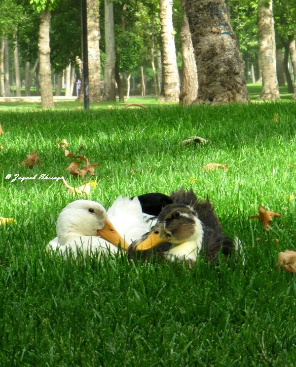 Ducks In Love