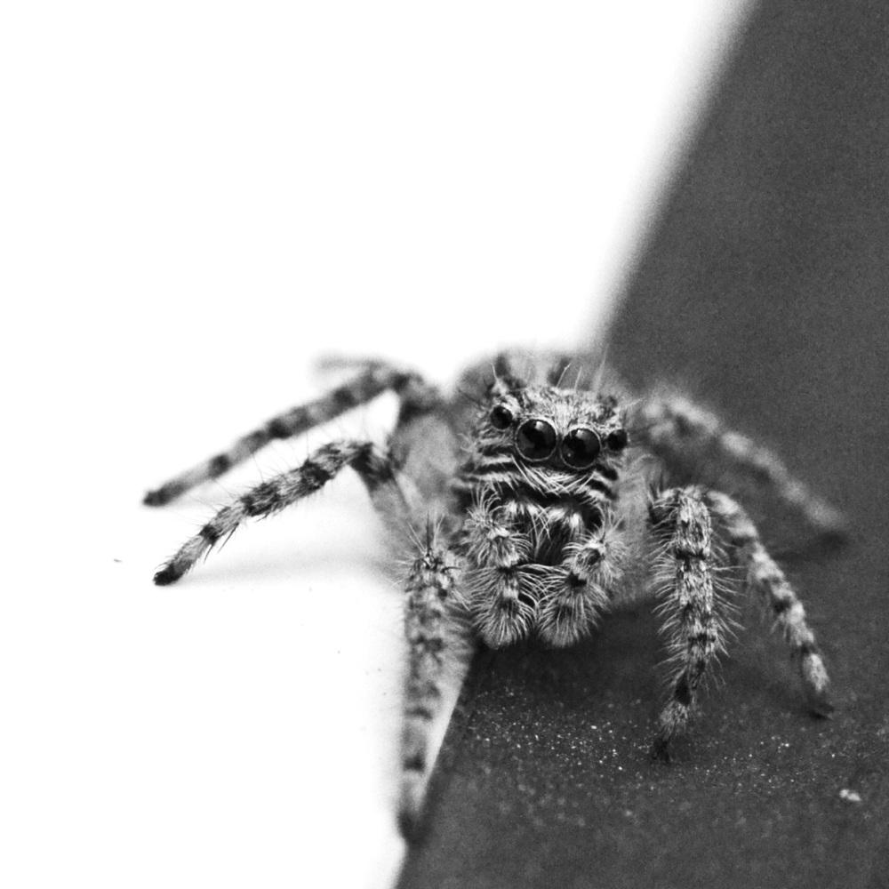 B/W spider