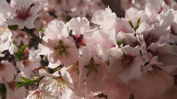 Le printemps des amandiers
