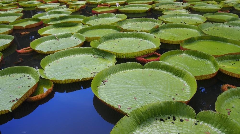 Victoria Amazonica 3
