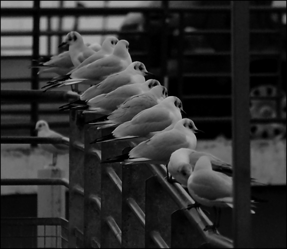 12 seagulls sitting on a fence