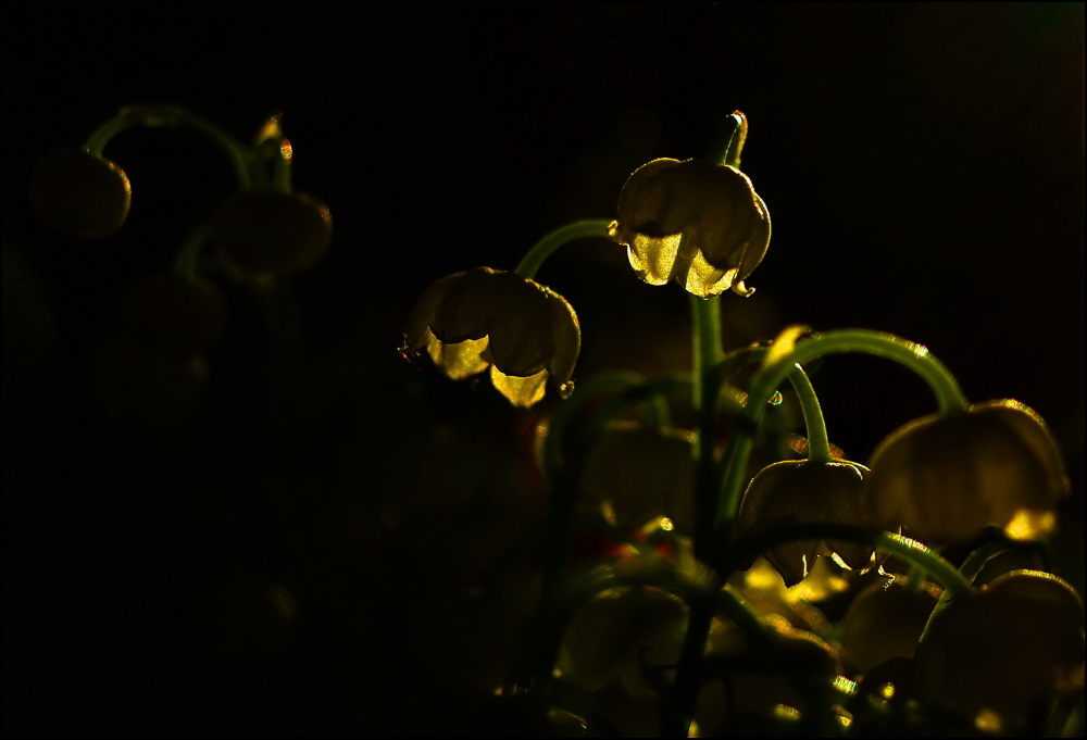 lily of the valley and its shadow