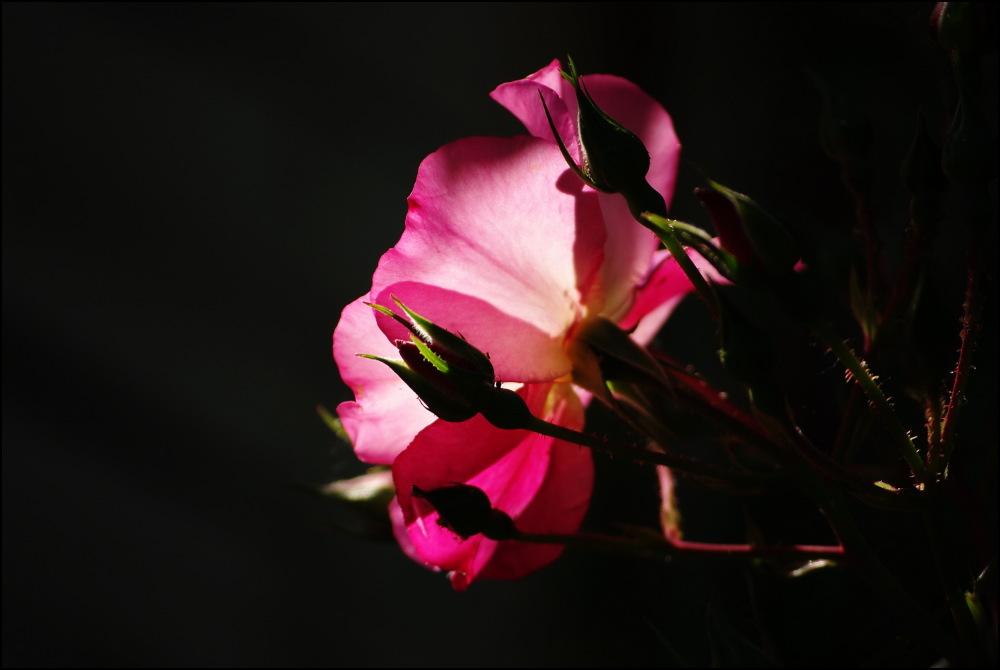 Rose Yann Arthus-Bertrand