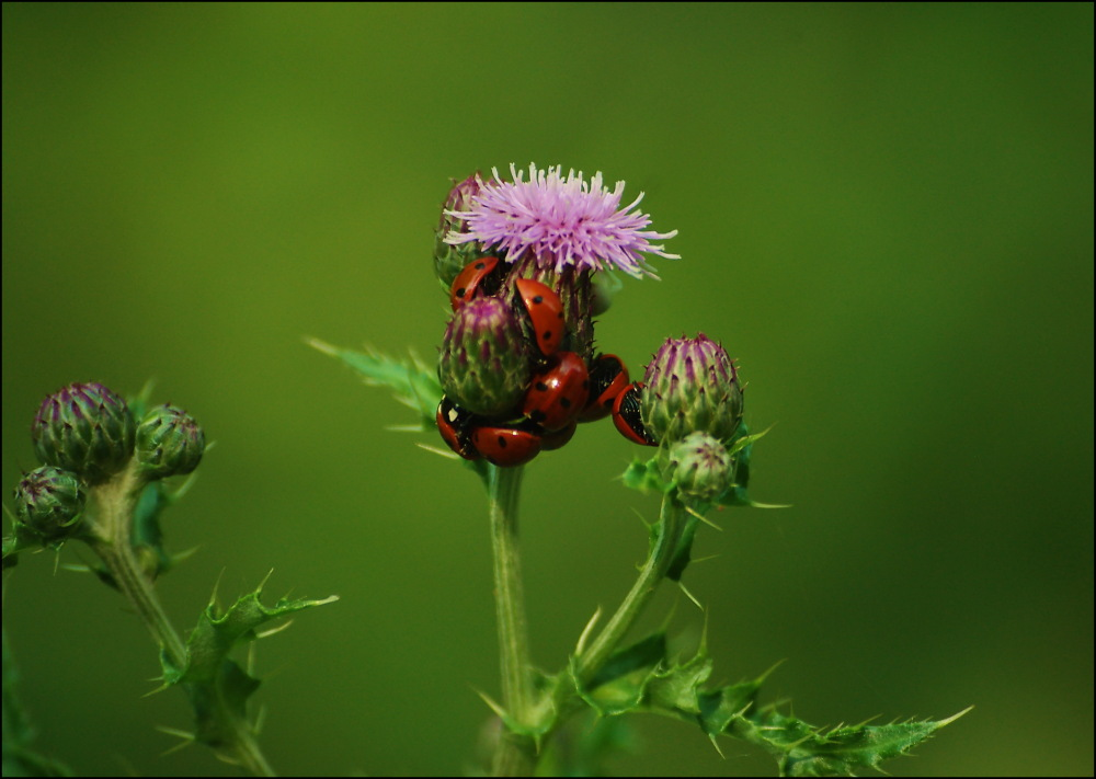 8 ladybirds on a thistle