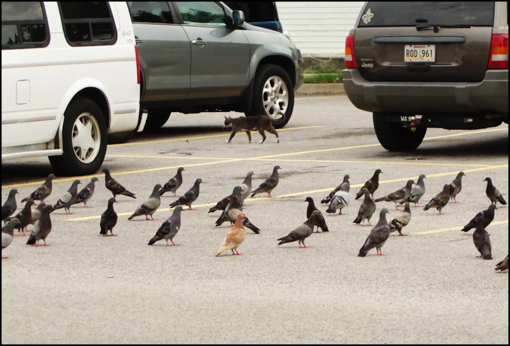 A cat quietly passing by a bunch of pigeons