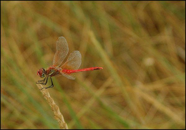 La demoiselle en rouge