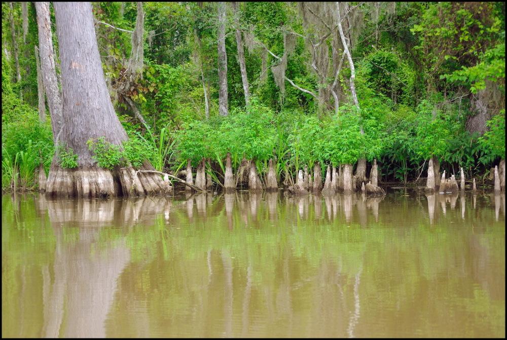 Les arbres-éléphants   The elephant-trees
