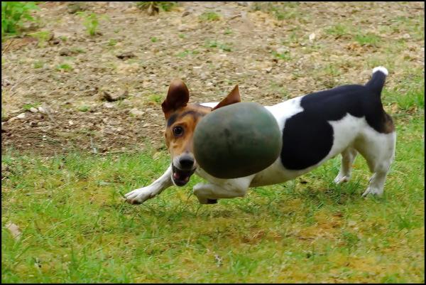 Canis Lupus Footballus