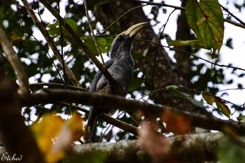 Malabar grey Hornbill..