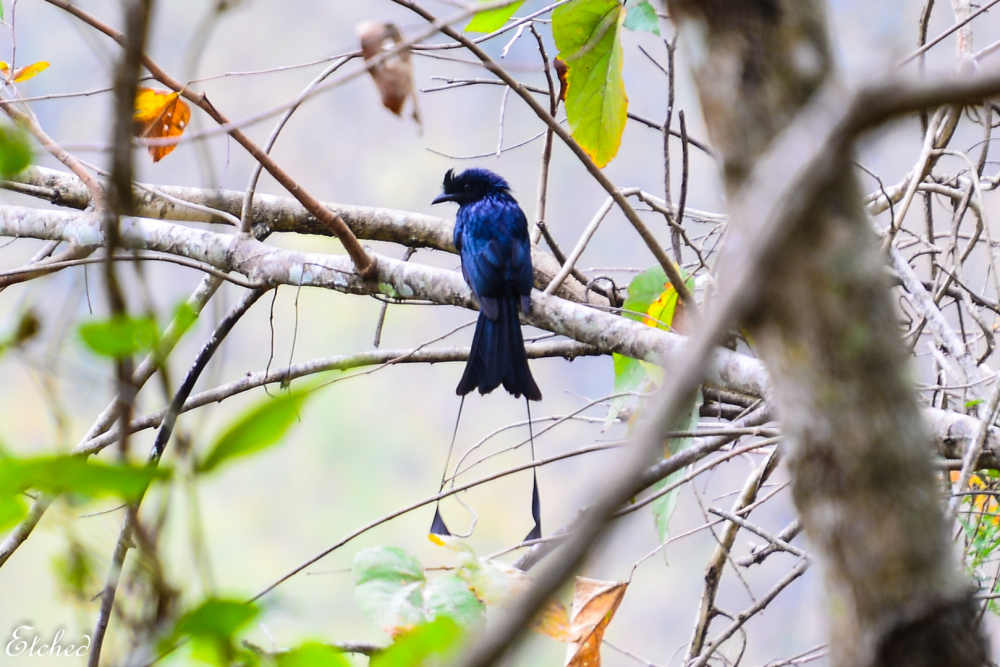 Racket tailed Drongo..