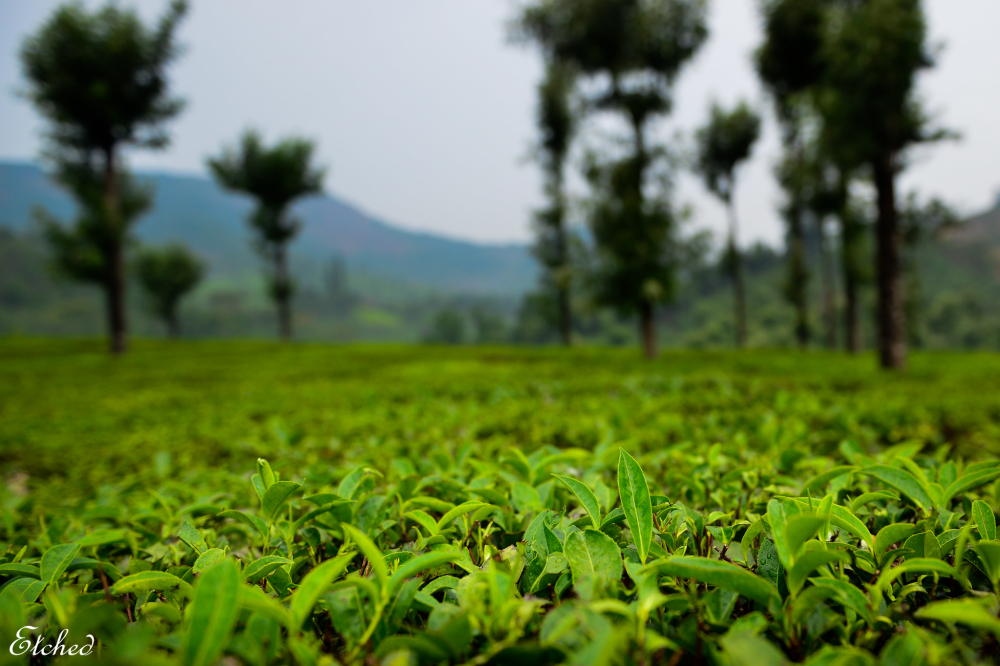 Tea Gardens of Sholayar