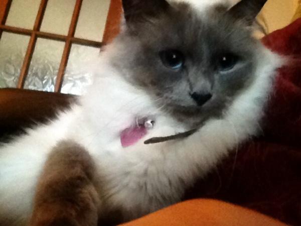 Truffles the Blue Birman cat