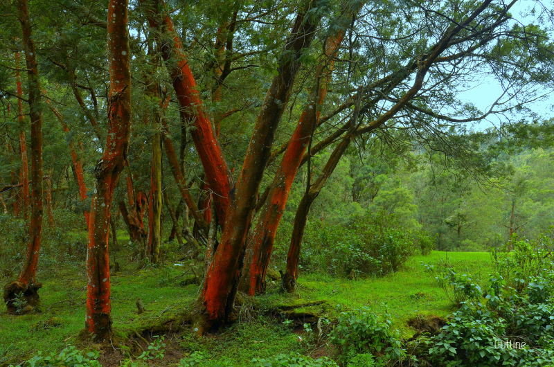 Red woods...