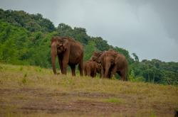 Elephants of Parambikulam