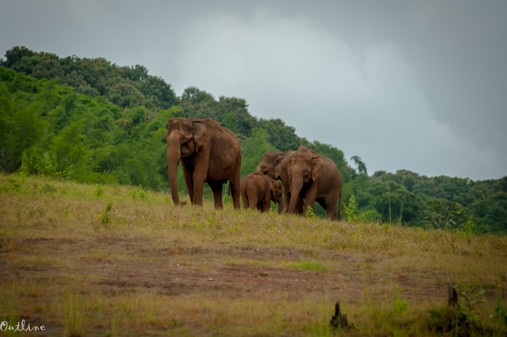 Elephants of Parambikulam