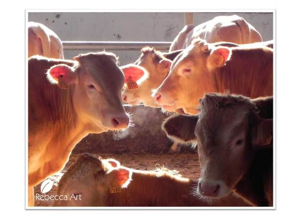 Omega3 Cattle in Veria