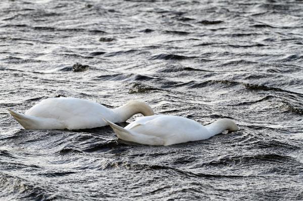 Shy Swans