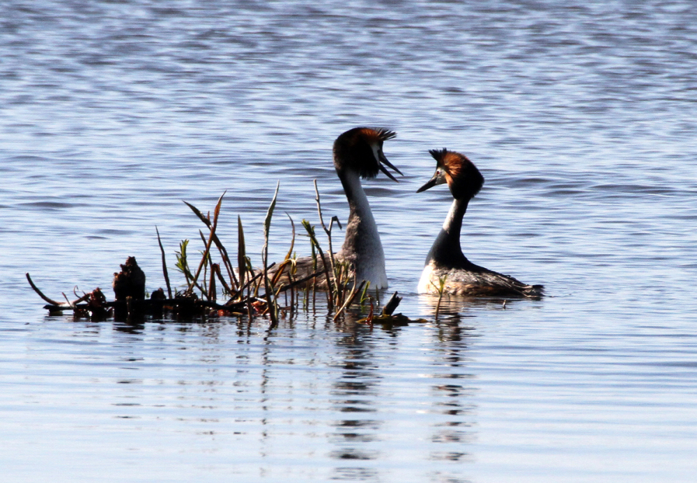 Crested Grebe in love