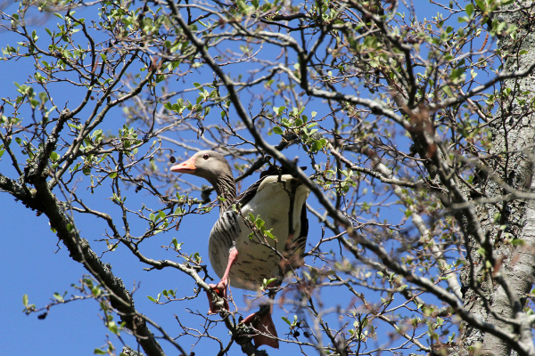 Goose in a tree