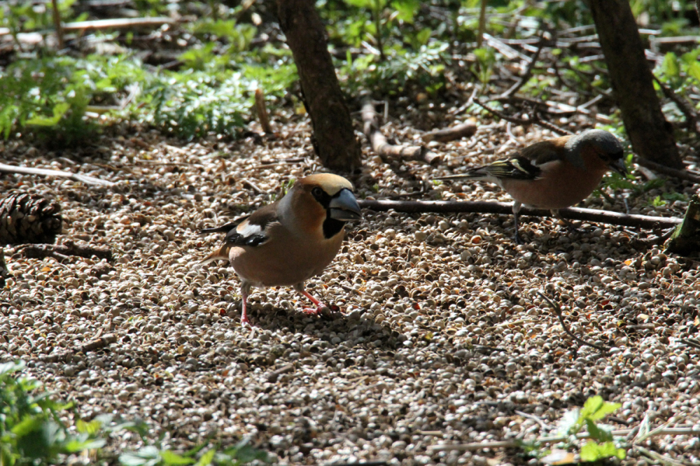 Hawfinch and Chaffinch