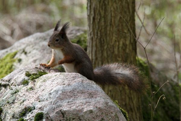 Squirrel III