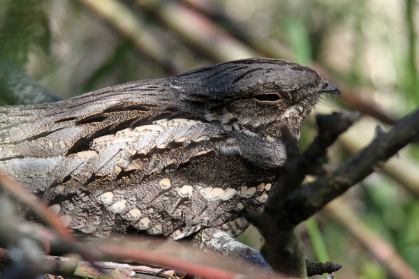 European Nightjar II