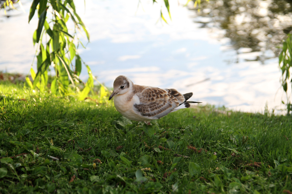 A young Black-headed Gull