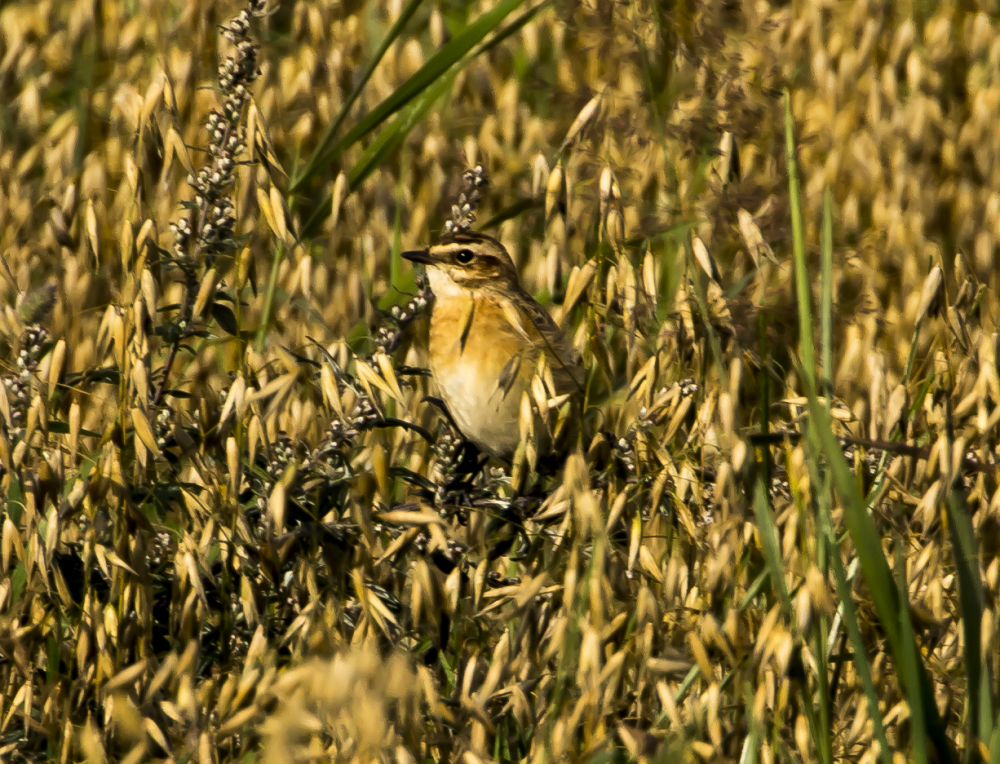 Camouflage ( Northern Wheatear)