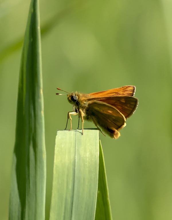 Butterfly XI