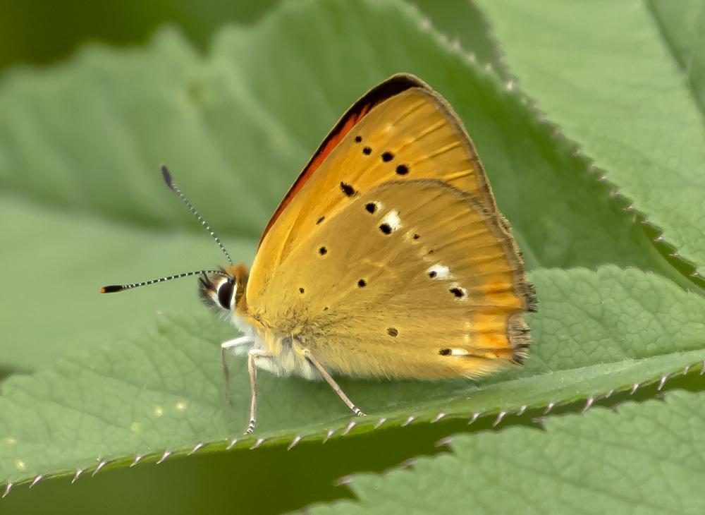 Butterfly XIII
