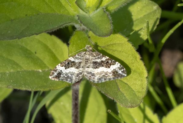 Butterfly XIX