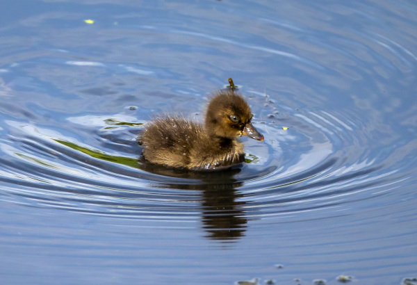 Young Tufted Duck