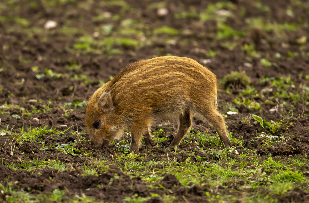 Wild boar Kid