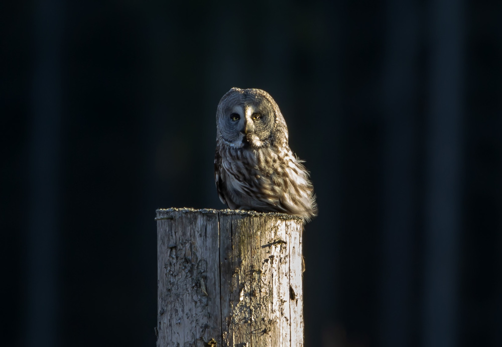 Great Grey Owl I