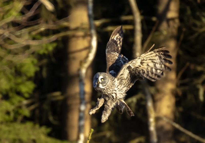 Great Grey Owl III