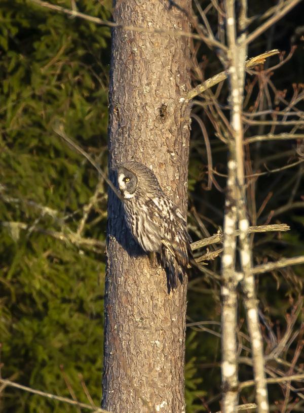Great Grey Owl IV