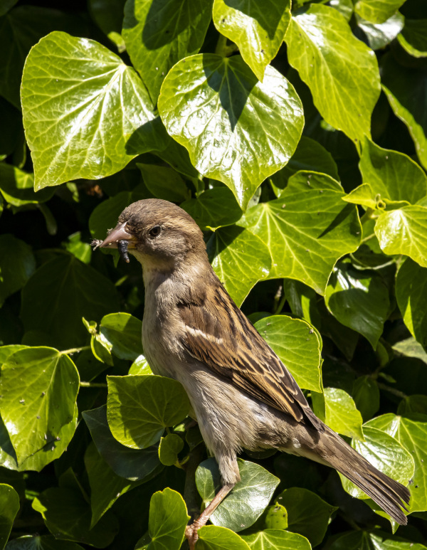House Sparrow (female)