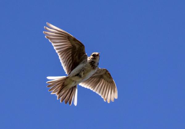 Eurasian Skylark